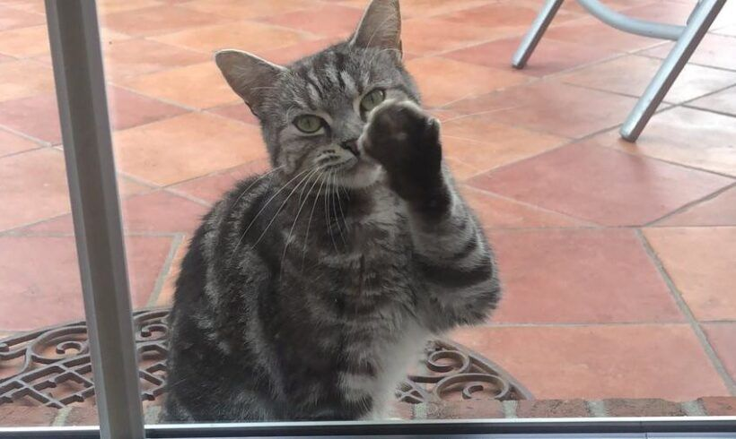 Schwarz-grau-getigerte Katze