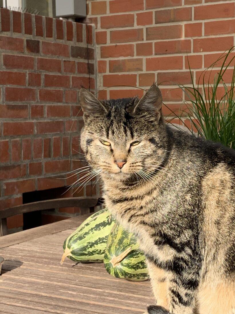 Katze zugelaufen in Osterladekop